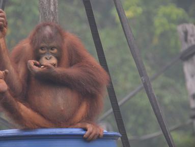 Aktivitas orangutan di pusat rehabilitasi Nyaru Menteng, Kalimantan Tengah, Selasa (17/9/2019). Belasan orangutan yang sedang direhabilitasi terserang infeksi saluran pernapasan akut (ISPA) akibat kabut asap dalam beberapa pekan terakhir. (Handout/Borneo Orangutan Survival Foundation/AFP)