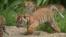 Tiga anak harimau sumatera dilepas ke kandang terbuka pertama kalinya di Kebun Binatang Toranga, Sydney, Jumat (29/3/2019). Kelahiran anak harimau Sumatera di Kebun Binatang Sydney merupakan kejadian luar biasa, karena satwa langka asli Sumatera ini diperkirakan tinggal 350 ekor. (PETER PARKS / AFP)
