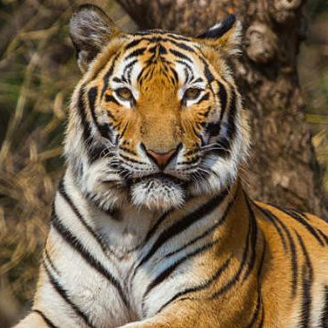 Hendak Dikawinkan Harimau Sumatera Jantan Malah Bunuh Betina Di