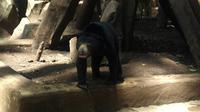 Beruang madu penghuni Kebun Binatang Bandung. (Liputan6.com/Kukuh Saokani)