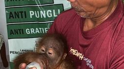 Orangutan saat diberi susu usai diselamatkan dari upaya penyelundupan warga negara Rusia Andrei Zhestkov di Bandara Internasional Ngurah Rai, Bali (23/3). Dari keterangan pelaku, ia membeli anak orangutan jantan ini  di Jawa seharga 300 dolar USA. (AFP Photo/Badan Konservasi Sumber Daya Alam Bali)