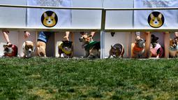 "Anjing-anjing Corgi bersiap ambil bagian dalam kejuaraan ""Corgi Nationals"" California Selatan di Arena Balap Santa Anita di Arcadia pada 26 Mei 2019. Ratusan anjing corgi yang mengikuti kejuaraan ini memperebutkan gelar anjing tercepat. (Photo by Mark RALSTON / AFP)"