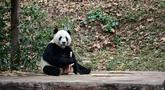 Panda raksasa bernama Bei Bei makan dalam kandangnya pada hari pertama di Bifengxia Panda Base di Yaan, Provinsi Sichuan, China, Kamis (21/11/2019). Panda raksasa yang lahir di Amerika Serikat tersebut tiba di China setelah melalui penerbangan selama 16 jam. (STR/AFP)