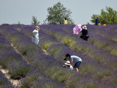 Wisatawan Asia berfoto ketika mereka berjalan melintasi ladang lavender di Valensole, sebelah tenggara Prancis pada 29 Juni 2019. Kebun lavender yang mekar mulai akhir Juni hingga Agustus ini adalah objek wisata yang populer bagi turis Asia. (Photo by GERARD JULIEN / AFP)