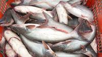 "Komoditas unggulan baru berupa spesies ikan patin ""luar biasa"" yang dinamakan Patin Perkasa (dok: KKP)"
