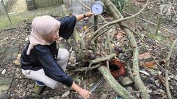 Staf kebun raya memperhatikan pengukur suhu di sekitar tumbuhan langka Bunga Padma (Raflesia padma Blume yang mekar di Kebun Raya Bogor (8/9). Bunga padma ini mekar 3 tahun lalu dan merupakan tanaman unggulan di Kebun Raya Bogor. (Merdeka.com/Arie Basuki)