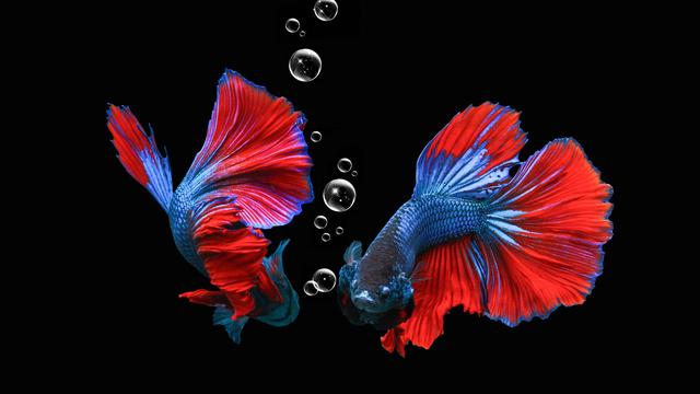 6 Cara Merawat Ikan Cupang Dengan Benar Ragam Bola Com