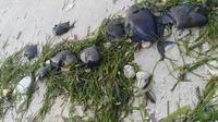 Ratusan ikan mati misterius di perairan Bulukumba (Fauzan/Liputan6.com)