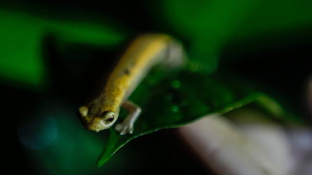 Melihat Salamander Mombacho yang Nyaris Punah di Nikaragua