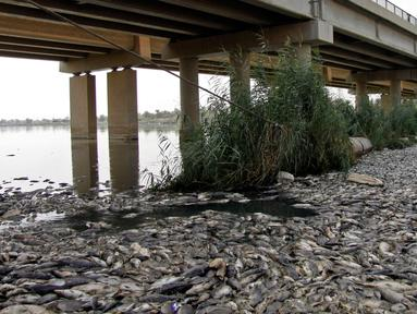 Ribuan ikan mas mati mengapung di atas permukaan Sungai Eufrat dekat kota Sadat al Hindiya, Irak, Jumat (2/11). Para nelayan Irak di selatan Baghdad mengaku kaget setelah menemukan ribuan ikan mas yang diternak mati secara misterius. (Haidar HAMDANI/AFP)