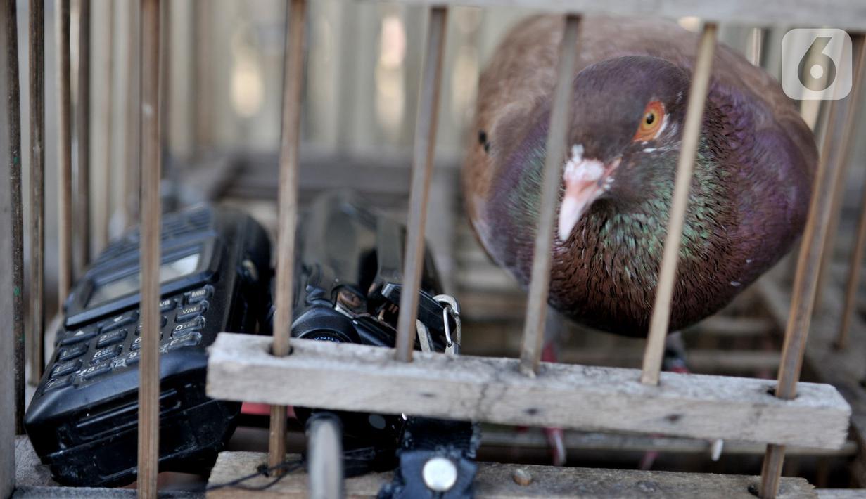 Foto Melatih Burung Merpati Kolongan News Liputan6 Com