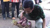 Bunga bangkai berdiameter 50 cm dan tinggi 75 cm itu tumbuh di pekarangan rumah warga milik Uung Mahrudin. (Liputan6.com/Panji Prayitno)