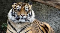 Ilustrasi harimau Sumatera (dok.pixabay/Jolenka)