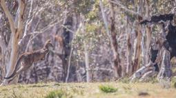 Foto 16 September 2020 ini menunjukkan seekor kanguru melompat di Taman Nasional Namadgi di Canberra, Australia. Pohon-pohon yang hangus terbakar masih terlihat jelas di tempat tersebut. (Xinhua/Liu Changchang)