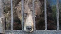 Singa dan beruang di kebun binatang paling tak terurus hanya mengandalkan kebaikan hati pasangan suami istri Hovhamnes dan Alvina.