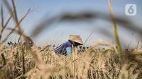Petani saat memanen padi di persawahan kawasan Rorotan, Jakarta, Rabu (29/7/2020). Cadangan beras pemerintah (CBP) diprediksi mampu untuk memenuhi kebutuhan beras dalam negeri di tengah pandemi Covid-19, bahkan hingga akhir tahun 2020. (merdeka.com/Iqbal S. Nugroho)