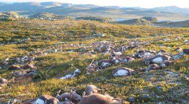 Ratusan bangkai rusa tergeletak mati di sebuah taman alam di Hardangervidda, Norwegia (28/8). Sekitar 300 ekor rusa mati tersambar petir akibat badai melanda wilayah setempat Jumat lalu. (Havard Kjotvedt/SNO/Miljodirektoratet/NTB Scanpix via Reuters)
