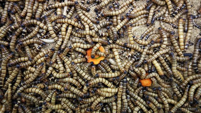 Sejumlah cacing super terlihat di peternakan Jassem Buabbas, Kabad, Kuwait, 20 Mei 2021. Jassem Buabbas telah bertahun-tahun membiakkan cacing super untuk pakan ternak. (YASSER AL-ZAYYAT/AFP)