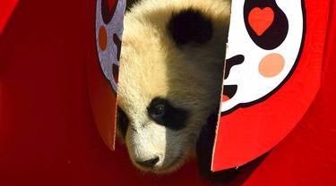 FOTO: 10 Bayi Panda Mulai Debut Jelang Imlek di Cagar Alam China