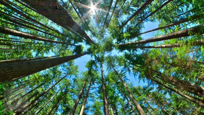 78 Gambar 2 Dimensi Pohon HD