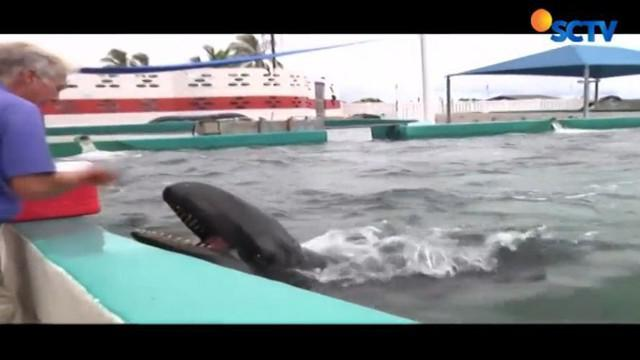 Puluhan tahun menjadi hewan penelitian, seekor lumba-lumba besar yang dikenal sebagai 'paus pembunuh palsu' bernama Kina akhirnya pensiun.
