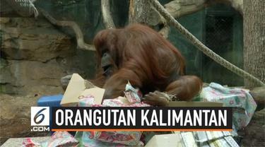 Seekor orangutan borneo merayakan ulangtahunnya yang ke-50 di Paris, Perancis. Perayaan dimeriahkan pemberian kue ulang tahun dan sejumlah kado.