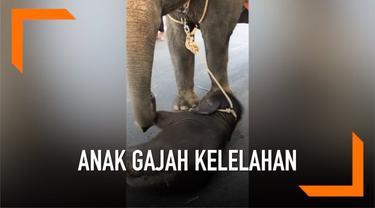 Sebuah video memperlihatkan seekor anak gajah yang dirantai terjatuh. Diduga ia kelelahan karena menemani sang induk berjalan membawa wisatawan di Thailand.