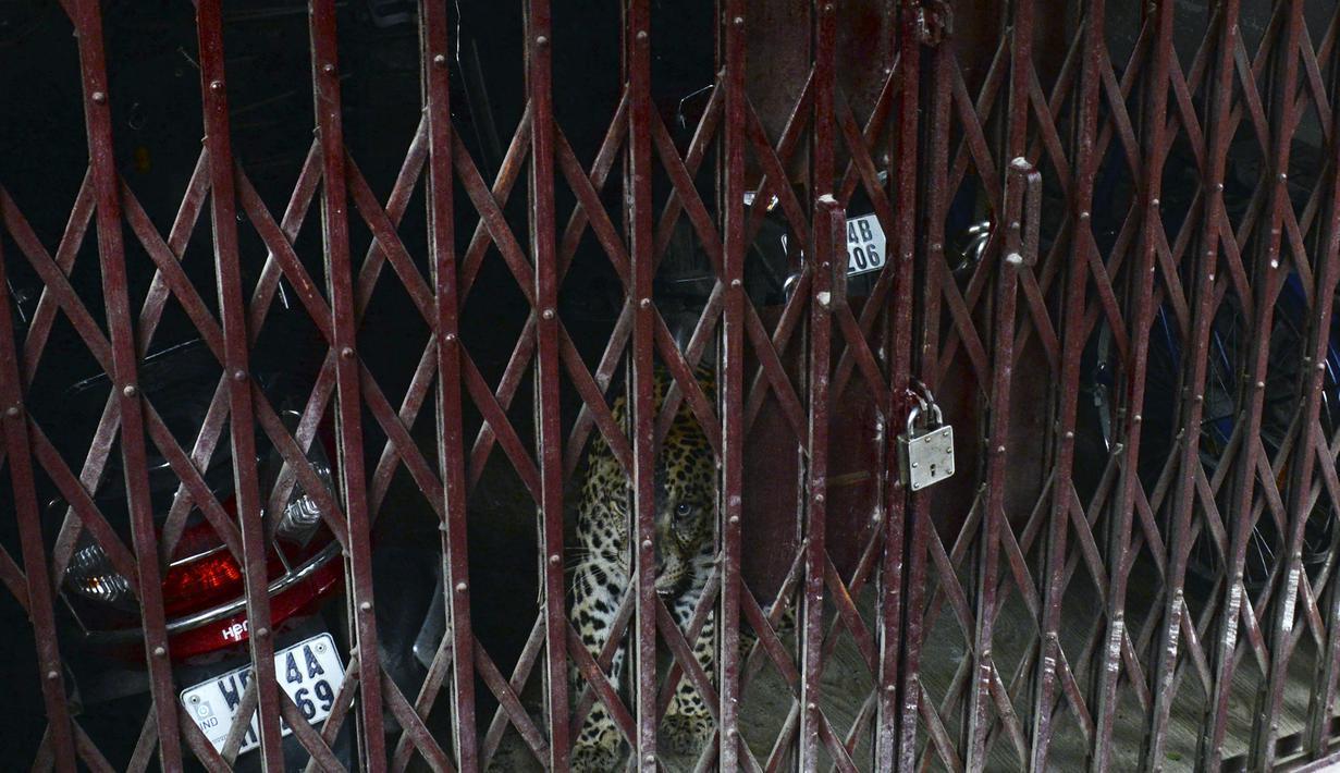 Macan tutul liar terlihat di daerah permukiman saat penjaga hutan mencoba menangkapnya di desa Samarnagar di pinggiran Siliguri, negara bagian Bengal Barat, India pada Senin (17/5/2021).  Macan tutul liar itu diduga tersesat hingga masuk ke pemukiman penduduk. (Photo by DIPTENDU DUTTA / AFP)