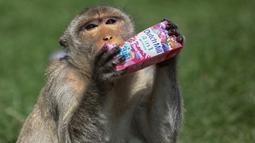 Seekor monyet minum dari sekotak susu rasa depan kuil Prang Sam Yod selama Festival Prasmanan Monyet tahunan di Lopburi, Bangkok, Thailand, Minggu (29/11/2020). Festival tersebut untuk mengucapkan rasa terima kasih kepada monyet yang telah menarik banyak wisatawan ke deerah itu. (Jack TAYLOR/AFP)