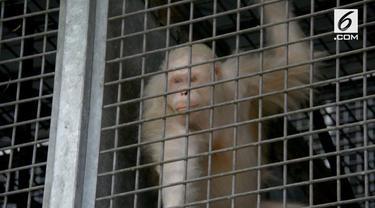 Alba, orangutan albino akhirnya dilepas ke alam bebas setelah direhabilitasi. Sebelumnya Alba dikhawatirkan tak diterima oleh orangutan lain.