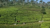 Hamparan hijau kebun teh Pagilaran di Kabupaten Batang, Jawa Tengah, bisa menjadi pilihan wisata. (Foto: Ida Lumongga/KRJogja.com)