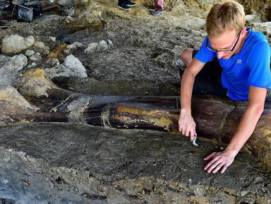 Peneliti National History Museum of Paris, Maxime Lasseron memeriksa tulang paha dinosaurus raksasa Sauropoda yang ditemukan awal minggu lalu di sebuah situs penggalian di barat daya Prancis, 24 Juli 2019. Tulang paha dengan panjang dua meter ini diklaim berusia 140 juta tahun. (GEORGES GOBET/AFP)