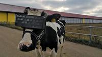 Peternak pasangkan headset VR di sapi mereka. (Doc: Interesting Engineering)