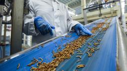 Seorang karyawan memeriksa ulat sebelum diproses menjadi bubuk protein di Ynsect di Dole, Prancis (8/2). Protein premium akan digunakan untuk budidaya dan gizi hewan peliharaan. (AFP/Sebastien Bozon)
