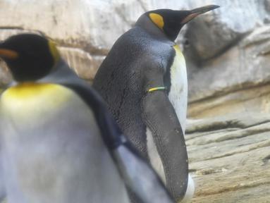 Seekor Penguin raja jantan, Skipper (kanan) dan pasangan sejenisnya, Ping terlihat dalam kandang mereka di Kebun Binatang Berlin, Jerman, Kamis (15/8/2019). Sepasang penguin sesama jenis itu mengadopsi telur telantar sejak Juli lalu sebagai upaya mereka menjadi orang tua. (Tobias SCHWARZ/AFP)