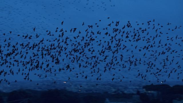 Pemandangan Kawanan Burung Jalak Penuhi Langit Roma