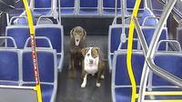 Kedua anjing saat sedaang diamankan di dalam bus oleh sopir. (source: @RideMCTS)
