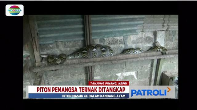 Ular piton kembali masuk permukiman warga sampai pangsa hewan ternak di Tanjungpinang, Kepulauan Riau dan Makassar, Sulawesi Selatan.