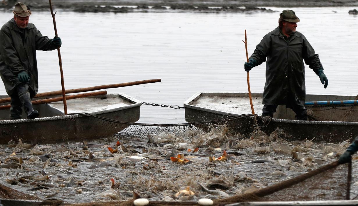 Gambar Nelayan Dan Ikan Mas Photo Serunya Tradisi Panen Ikan Mas Ala Nelayan Ceko Lifestyle Liputan6 Com