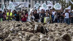 Peternak bersama ratusan domba saat unjuk rasa menentang kebijakan 'Plan Loup' di Kota Lyon, Prancis, (9/10). Peternak mengatakan tidak sedikit domba yang mati akibat diterkam serigala. (AFP Photo/Jean-Philippe Ksiazek)