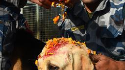 Personel kepolisian Nepal memberikan kalung bunga dan bubuk merah di dahi anjing polisi selama perayaan festival Tihar di Kathmandu, Selasa (6/11). Pada hari kedua digelar ritual Kukur Tihar, perayaan yang dikhususkan untuk anjing. (PRAKASH MATHEMA/AFP)
