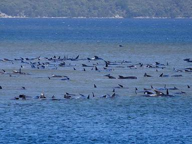"Kawanan paus pilot yang terdampar di perairan Pelabuhan Macquarie, dekat Strahan, Tasmania, Australia (21/09/2020). Sebanyak 90 paus telah mati dan operasi ""menantang"" sedang dilakukan untuk menyelamatkan 180 lainnya yang masih terdampar pada 22 September. (AFP/Handout/Ryan Bloomfield)"