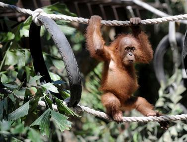 Anak Orangutan
