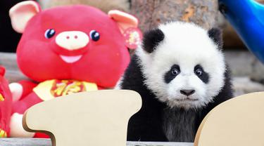 Seekor panda bermain di kandangnya dengan dekorasi Tahun Baru Imlek yang dikenal sebagai Tahun Babi, di provinsi Sichuan, China, 31 Januari 2019. Sebelas anak panda yang lahir pada tahun 2018 diperlihatkan kepada publik untuk menyambut Imlek. (STR/AFP)