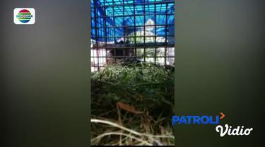 Kini harimau Sumatera bernama latin Panthera Tigris Sumatrae itu dipindahkan ke pusat rehabilitasi harimau di Dharmasraya, Sumatera Barat.