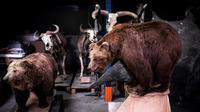 Menurut sebuah penelitian yang diterbitkan pada hari ini (23/10/2019) koleksi-koleksi dalam musium binatang cenderung mengoleksi Jantan (AFP/Lionel Bonaventure)