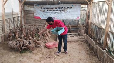 Dani, Ketua Kepompok Motekar, Kadipaten, Tasikmalaya, jawa Barat tengah memberi pakan ternak maggot bagi itik peliharannya.
