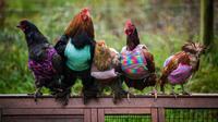 Saking sayangnya, wanita ini tak ingin ayam-ayamnya kedinginan di musim dingin