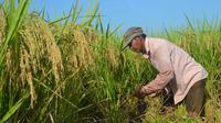 Seorang petani tengah memanen padi organik varites mentik wangi di Cingebul Kecamatan Lumbir, Banyumas. (Foto: Liputan6.com/Muhamad Ridlo)