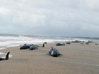 Paus pilot terdampar di Haast, pantai barat Pulau Selatan Selandia Baru, Kamis (5/4). Departemen Konservasi Selandia Baru mengatakan 38 paus pilot ditemukan terdampar di mulut Sungai Okuru, selatan Haast. (New Zealand Department of Conservation via AP)